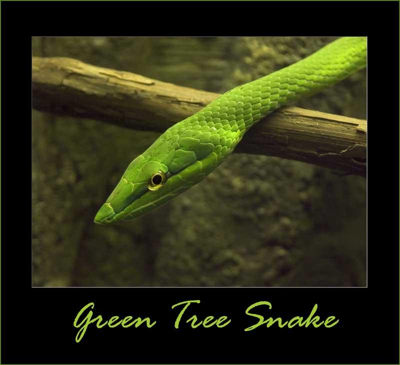 "фото ""Green Tree Snake"" метки: природа,"