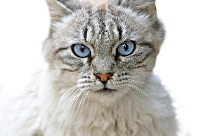 """фото """"Голубоглазый"""" метки: природа, домашние животные"""