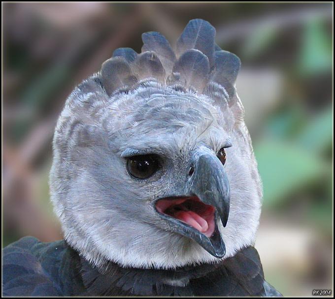 "фото ""Harpy Eagle"" метки: разное, природа, дикие животные"