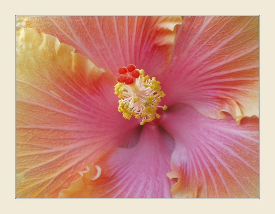 """фото """"Hibiscus"""" метки: природа, макро и крупный план, цветы"""