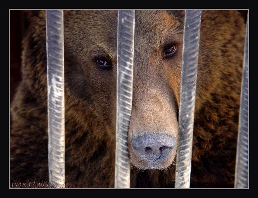 """фото """"""""Взгляд-2...(Медведь)"""" метки: природа, дикие животные"""