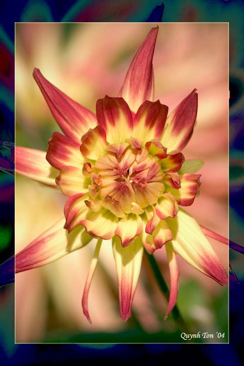 """фото """"Red Dahlia"""" метки: природа, макро и крупный план, цветы"""
