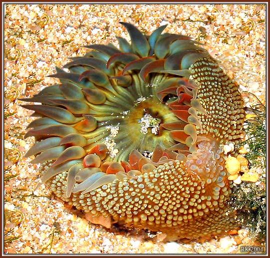 "фото ""Anemone"" метки: природа,"