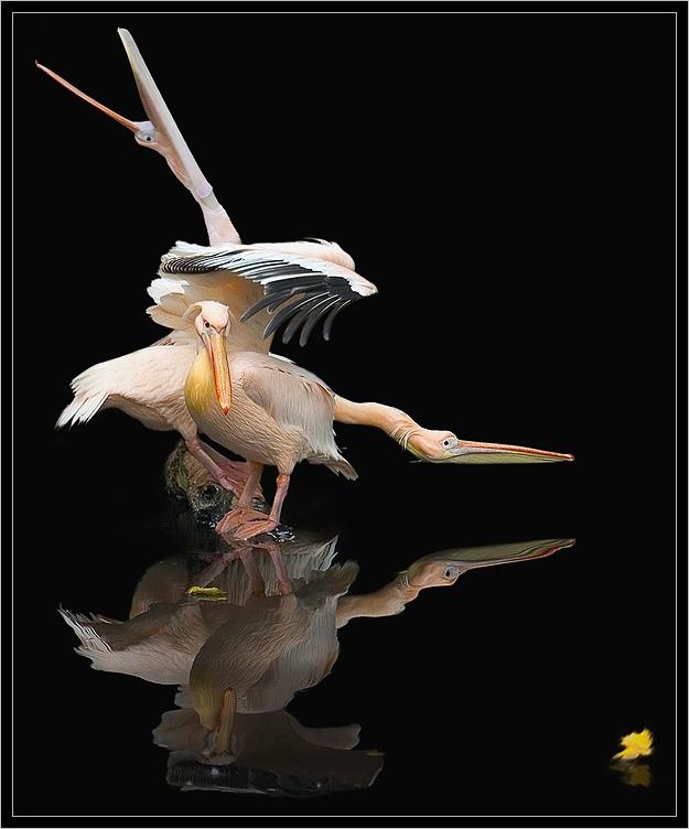 "фото ""Этюд.  Пеликаны и желтый лист."" метки: жанр, природа,"