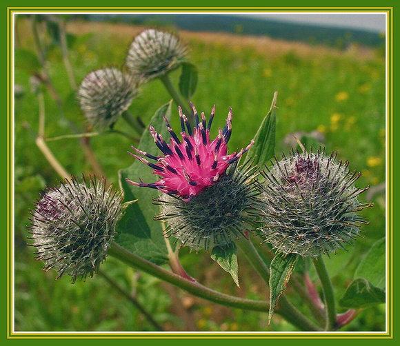 """фото """"Коронованная особа"""" метки: природа, макро и крупный план, цветы"""