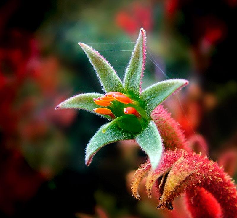 """фото """"Кенгуринная лапка (цветок так называется...)"""" метки: природа, макро и крупный план, цветы"""