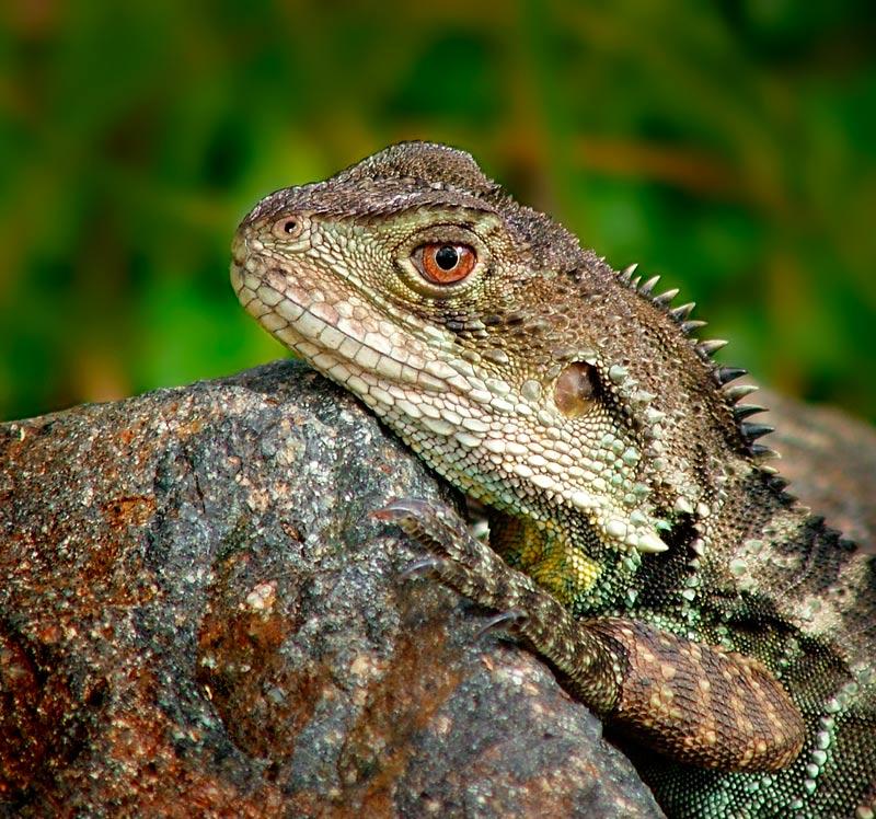 """фото """"Water Dragon"""" метки: макро и крупный план, природа, дикие животные"""