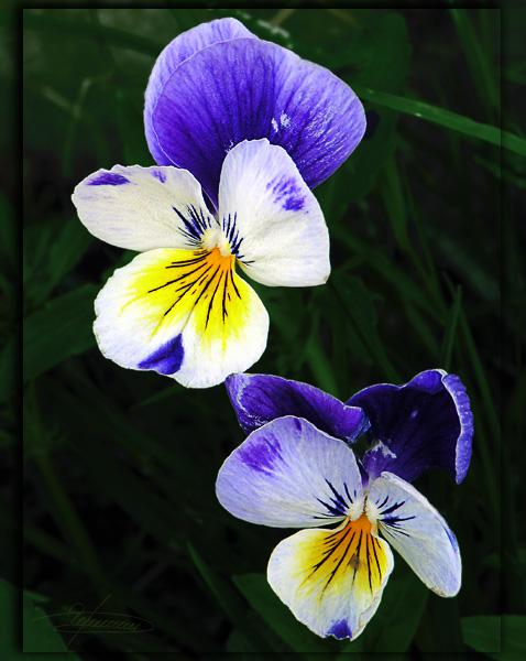"""фото """"Пара ярких клякс."""" метки: природа, макро и крупный план, цветы"""