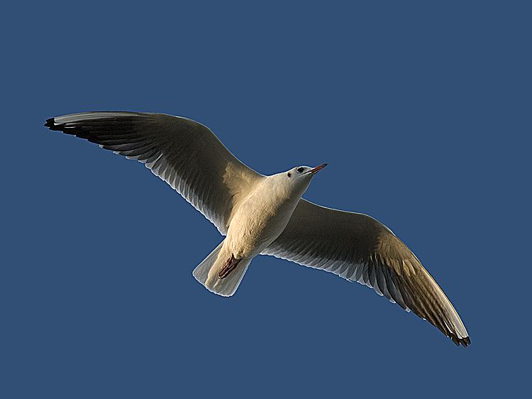 """фото """"Gul in flight"""" метки: природа, дикие животные"""