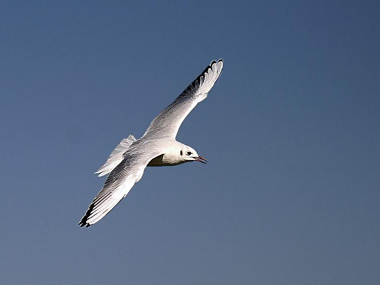 "photo ""Gull in flight 2"" tags: travel, nature, Africa, wild animals"