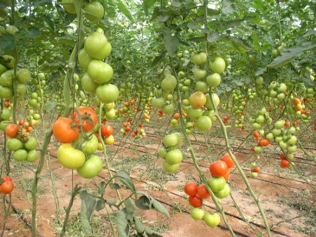 "фото ""More tomatoes"" метки: разное,"