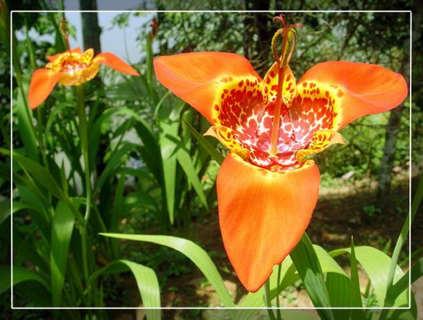 "фото ""A couple of flowers"" метки: природа, путешествия, Южная Америка, цветы"