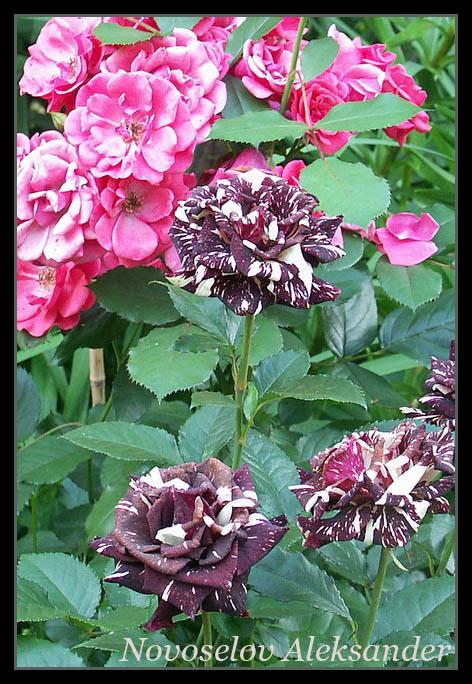 """фото """"розы"""" метки: природа, цветы"""