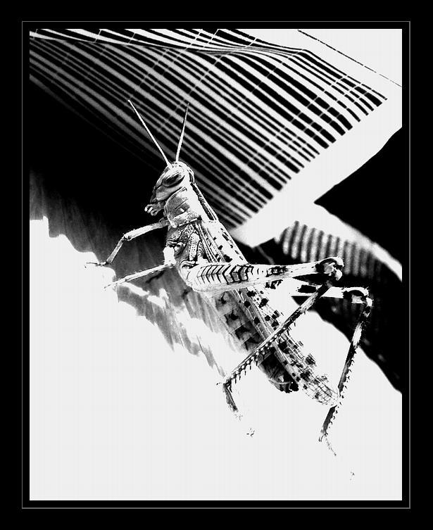 """фото """"Cigarron..."""" метки: природа, макро и крупный план, насекомое"""