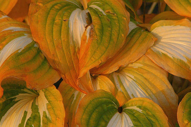 """фото """"Autumn Hostas"""" метки: макро и крупный план, пейзаж, осень"""