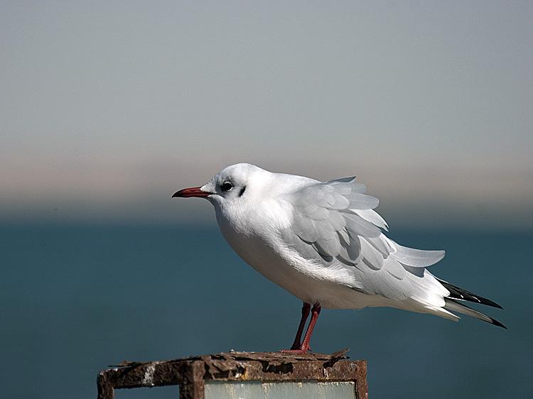 "фото ""Gull 1"" метки: путешествия, природа, Африка, дикие животные"