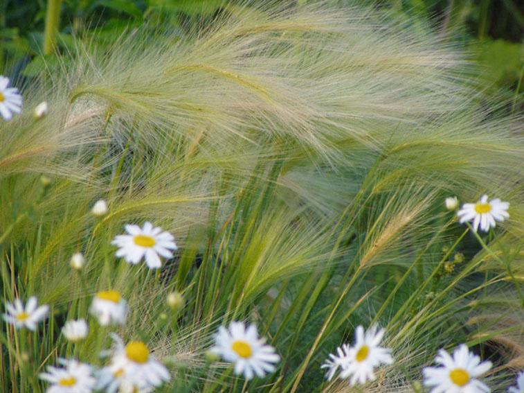 """фото """"Ковыль в ромашках"""" метки: природа, цветы"""