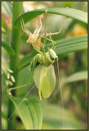 """фото """"Гимнаст."""" метки: природа, макро и крупный план, насекомое"""