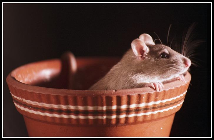 """фото """"Мыша"""" метки: природа, натюрморт, домашние животные"""