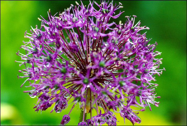 """фото """"Взрыв"""" метки: природа, цветы"""