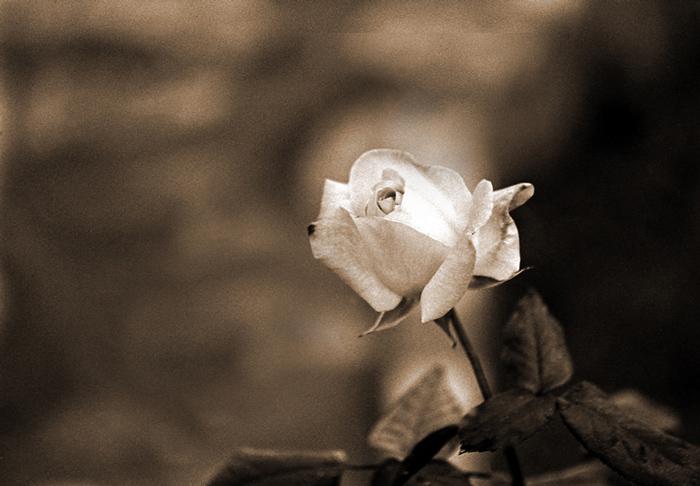 """фото """"Rose"""" метки: природа, насекомое"""