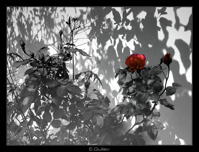 """фото """"Чайная роза"""" метки: природа, черно-белые, цветы"""