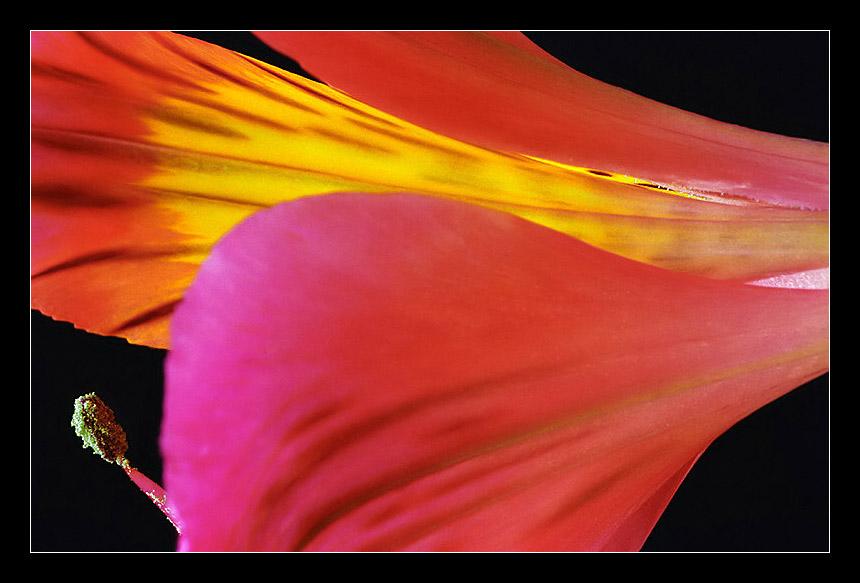 "фото ""Gramophone With Microphone"" метки: природа, макро и крупный план, цветы"