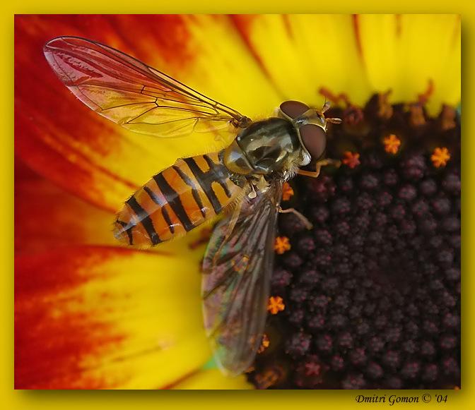 """фото """"~Воспоминания о лете~ (Episyrphus balteatus)"""" метки: макро и крупный план,"""