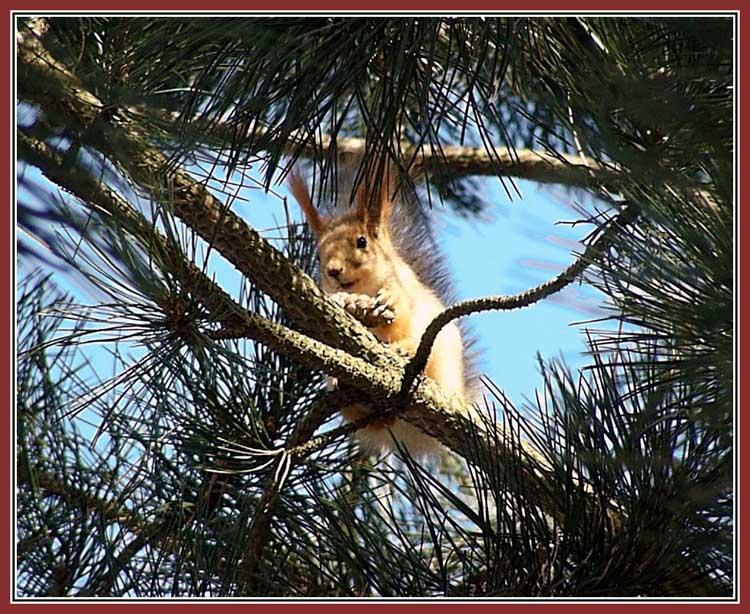 """фото """"Белка шишечки грызет"""" метки: природа, дикие животные"""