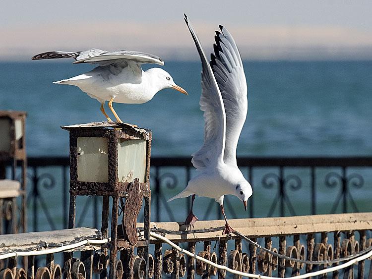 """фото """"Gulls 2"""" метки: природа, дикие животные"""