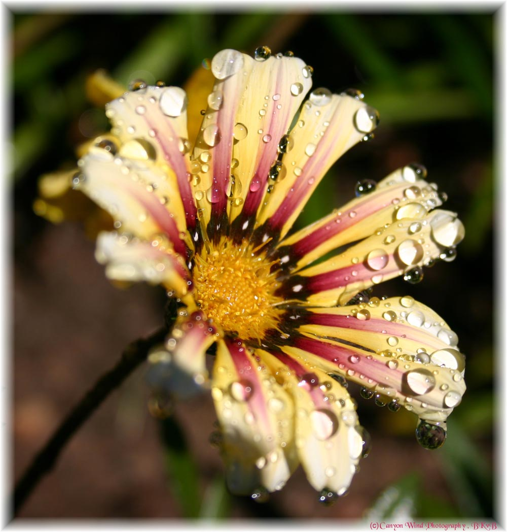 "фото ""Beautiful Sister`s Tears !"" метки: макро и крупный план, природа, цветы"