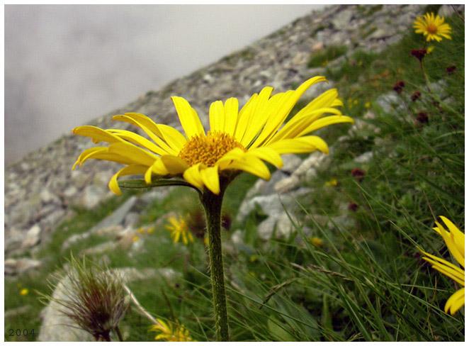 "фото ""mountain flower in Slovakia"" метки: природа, разное, цветы"