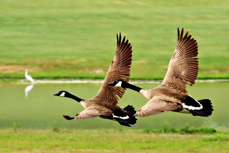 """фото """"Twin Take-off"""" метки: природа, дикие животные"""