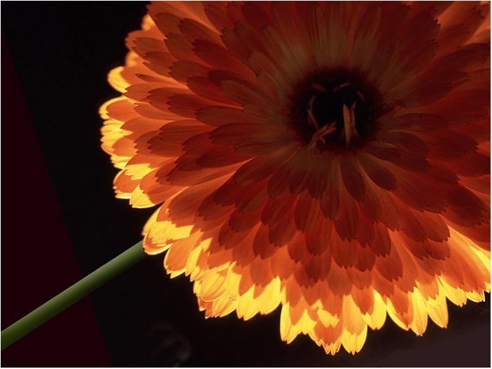 """фото """"Dahlia"""" метки: макро и крупный план, природа, цветы"""