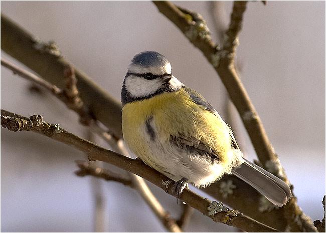 """фото """"Parus caeruleus"""" метки: природа, дикие животные"""