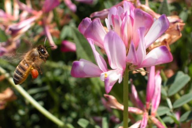 "фото ""Finally the nectar!"" метки: природа, насекомое"