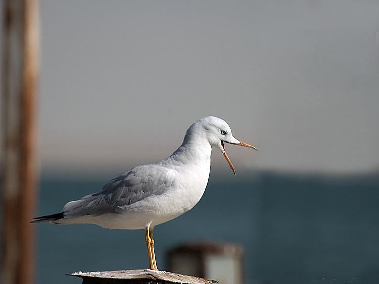 "фото ""Gull 3"" метки: природа, дикие животные"
