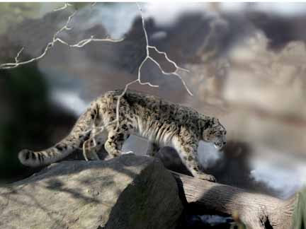 "фото ""Snow Leopard"" метки: природа, дикие животные"
