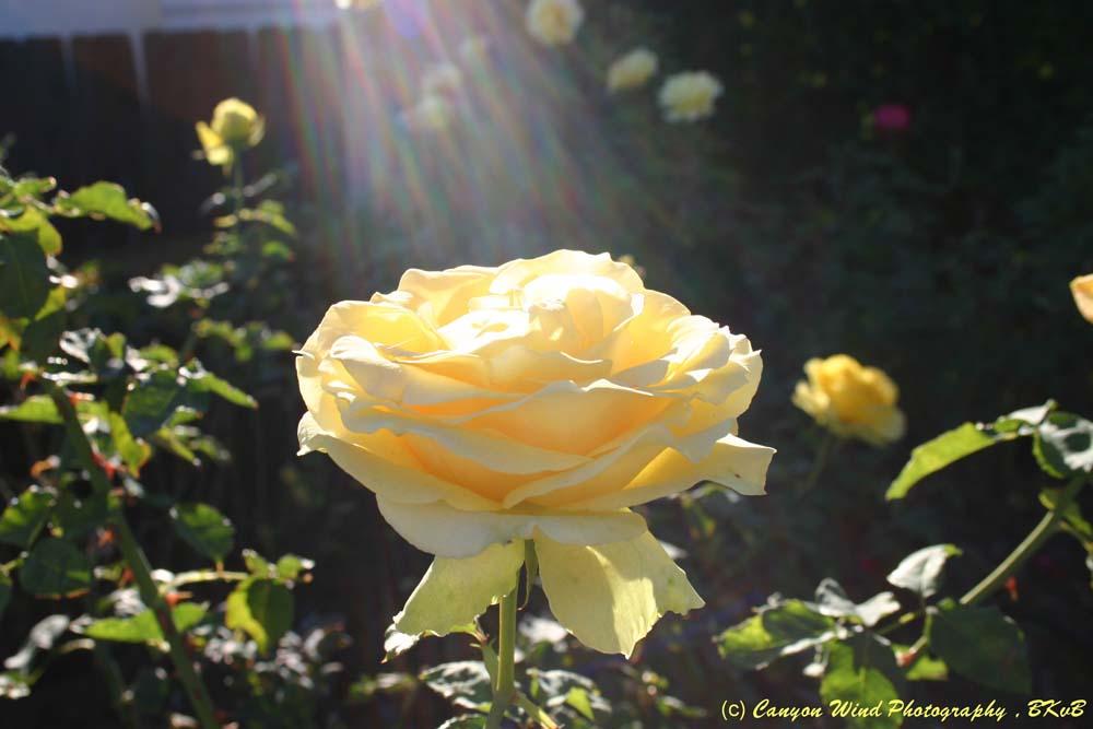 "фото ""The Glory Of Roses !"" метки: природа, цветы"