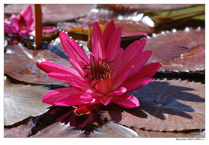 """фото """"Цветок лилии"""" метки: природа, путешествия, Азия, цветы"""