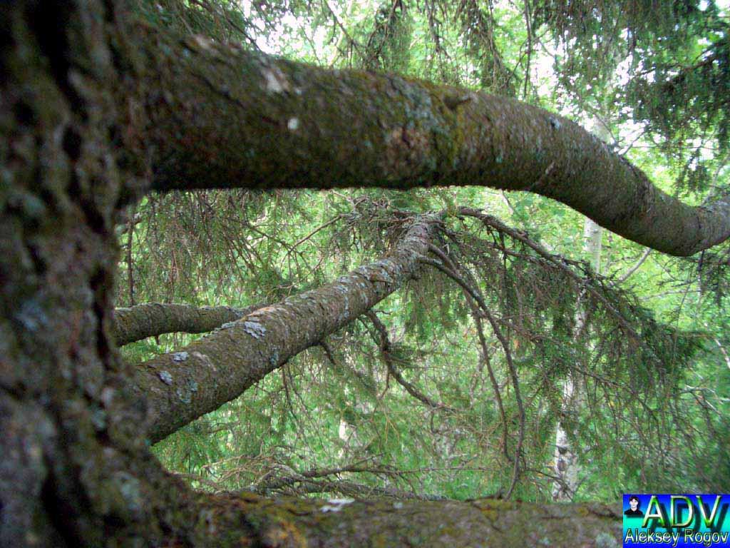 """фото """"Старая ель"""" метки: пейзаж, лес"""