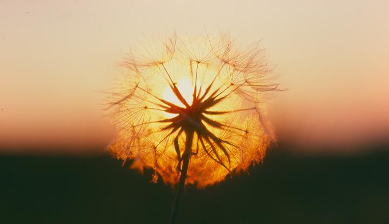 """фото """"Dandelion Sunset"""" метки: природа, пейзаж, закат, цветы"""