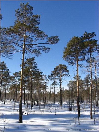 """фото """"Сосны"""" метки: разное, пейзаж, лес"""