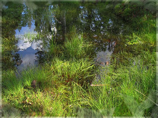 "фото ""Эффект присутствия на болоте ранним утром"" метки: пейзаж, лес, лето"