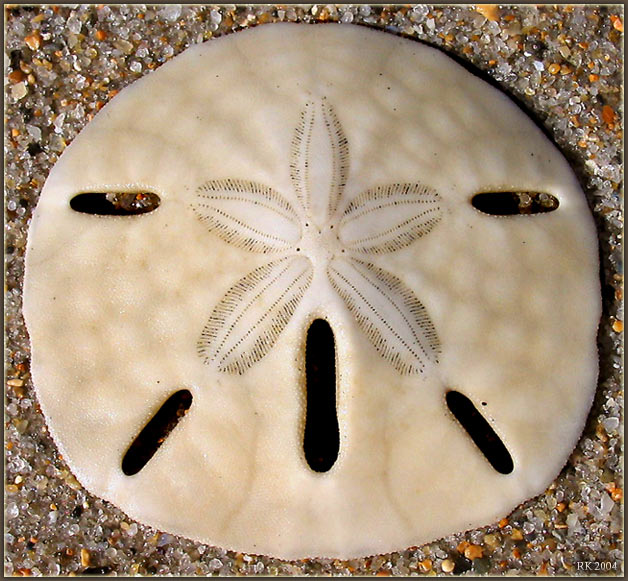"фото ""Sand Dollar"" метки: разное,"