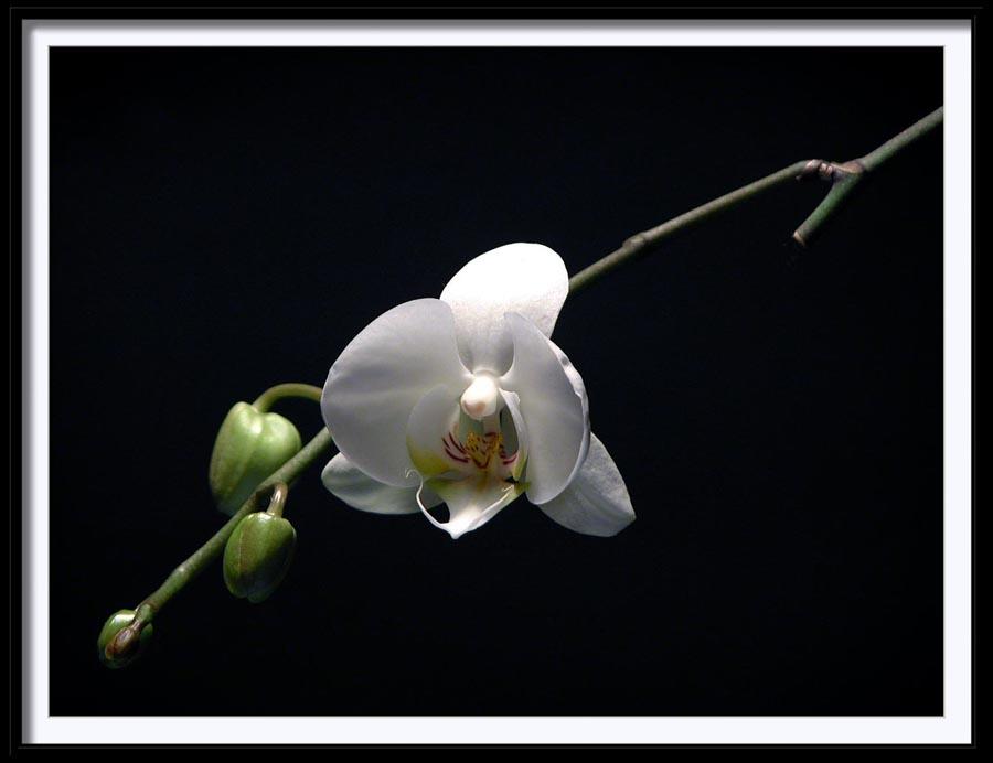 "фото ""orchid"" метки: природа, цветы"