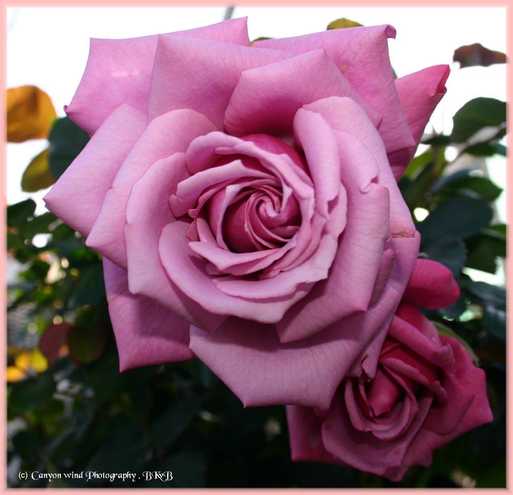 """фото """"Sisters !"""" метки: макро и крупный план, природа, цветы"""