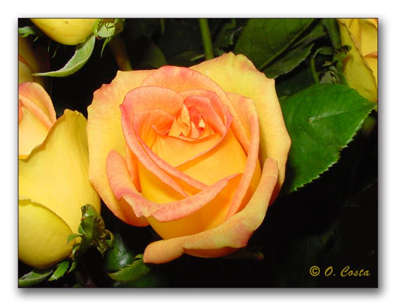 "фото ""Rose`s Heart"" метки: природа, натюрморт, цветы"