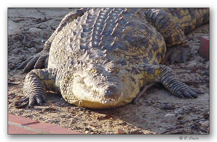 """фото """"Fat Croc"""" метки: природа, дикие животные"""