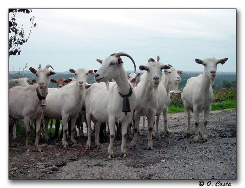 """фото """"Goat Herd"""" метки: природа, путешествия, домашние животные"""